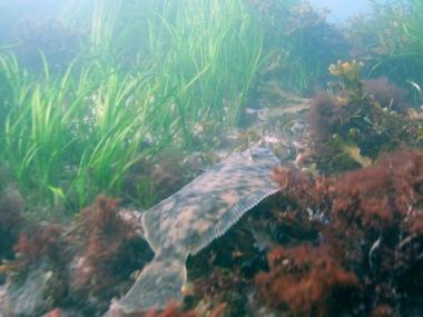 Winter flounder (Pseudopleuronectes americanus) in a Fishers Island eelgrass meadow