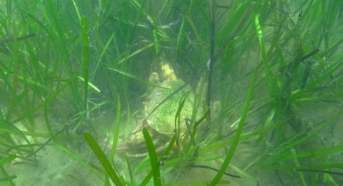 A large calico crab in the Shinnecock eelgrass meadow.